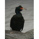 Red-faced Cormorant. Photo by Rick Taylor. Copyright Borderland Tours. All rights reserved.