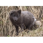 Arctic Fox. Photo by Adam Riley. All rights reserved.