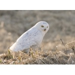 Snowy Owl on St. Paul. Photo by Dave Kutilek. All rights reserved