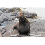 Northern Fur Seal. Photo by Dave Johnson. All rights reserved.
