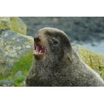 Northern Fur Seal bull. Photo by Rick Taylor. Copyright Borderland Tours. All rights reserved.