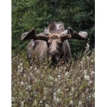Bull Moose in the velvet. Photo by Rick Taylor. Copyright Borderland Tours. All rights reserved.