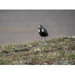 American Golden-Plover. Photo by Rick Taylor. Copyright Borderland Tours. All rights reserved.