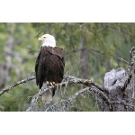 Bald Eagle. Photo by Bryan J. Smith. All rights reserved.