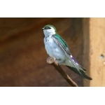 Violet-green Swallow. Photo by Bryan J. Smith. All rights reserved