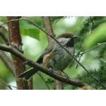 Boreal Chickadee. Photo by Rick Taylor. Copyright Borderland Tours. All rights reserved.