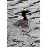Horned Grebe. Photo by Rick Taylor. Copyright Borderland Tours. All rights reserved.