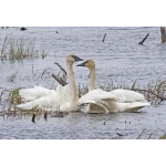 Trumpeter Swans at Seward. Photo by Dave Kutilek. All rights reserved