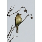 Alder Flycatcher. Photo by Dave Johnson. All rights reserved.