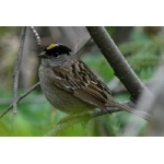 Golden-crowned Sparrow. Photo by Rick Taylor. Copyright Borderland Tours. All rights reserved.