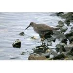 Wandering Tattler on Resurrection Bay. Photo by Bryan J. Smith. All rights reserved