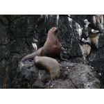 Stellers Sea Lions. Photo by Rick Taylor. Copyright Borderland Tours. All rights reserved