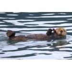 Sea Otter. Photo by Adam Riley. All rights reserved.