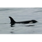 Orca. Photo by Rick Taylor. Copyright Borderland Tours. All rights reserved.