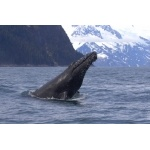 Humpback Whale head in Resurrection Bay. Photo by Adam Riley. All rights reserved.
