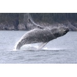 Humpback Whale breeching. Photo by Adam Riley. All rights reserved.