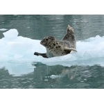 Harbor Seal. Photo by Rick Taylor. Copyright Borderland Tours. All rights reserved.