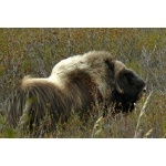 Musk Ox. Photo by Rick Taylor. Copyright Borderland Tours. All rights reserved.