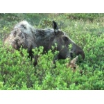 Moose Mother and Calf. Photo by Joe Faulkner. All rights reserved.