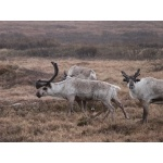Reindeer. Photo by Rick Taylor. Copyright Borderland Tours. All rights reserved