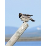 Lapland Longspur. Photo by Rick Taylor. Copyright Borderland Tours. All rights reserved.