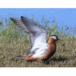 Displaying female Red Phalarope. Photo by Rick Taylor. Copyright Borderland Tours. All rights reserved.