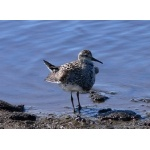 Displaying Pectoral Sandpiper. Photo by Rick Taylor. Copyright Borderland Tours. All rights reserved.