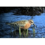Curlew Sandpiper Barrow 2005. Photo by Rick Taylor. Copyright Borderland Tours. All rights reserved.