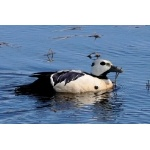 Stellers Eider. Photo by Rick Taylor. Copyright Borderland Tours. All rights reserved