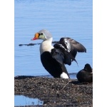 King Eider Barrow. Photo by Rick Taylor. Copyright Borderland Tours. All rights reserved.