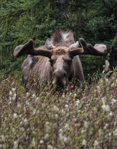 Bull Moose in velvet. Photo by Rick Taylor. Copyright <strong><strong>Borderland Tours</strong></strong>. All rights reserved.