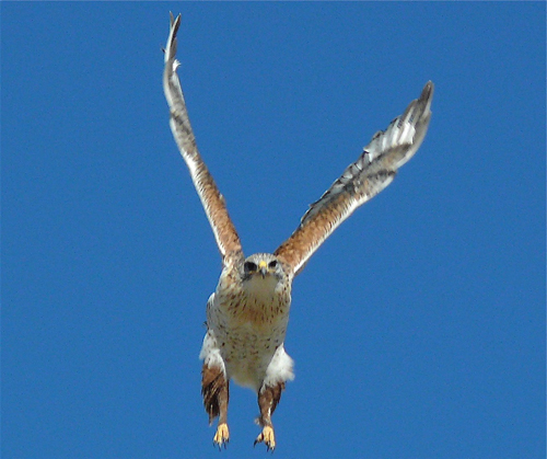Ferruginous Hawk. Photo by Rick Taylor. Copyright <strong><strong>Borderland Tours</strong></strong>. All rights reserved.