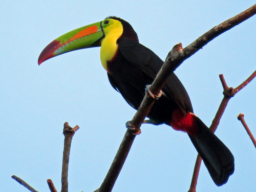 Keel-billed Toucan. Photo by John Yerger. Copyright <strong><strong>Borderland Tours</strong></strong>. All rights reserved.